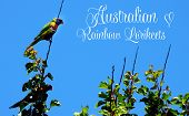 Australian Native Bird, Rainbow Lorikeets Against A Blue Sky With Text Greeting Message.