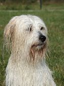 Wet uncommon breed of dog  - Coton de Tulear