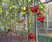 Red And Green Tomatoes In A Greenhouse