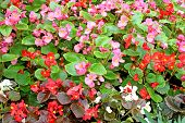 stock photo of begonias  - Flowers red and pink tuberous begonias in the flowerbed - JPG