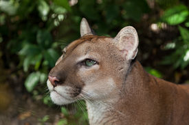 pic of cougar  - A profile of a green eyed puma or cougar staring into the jungle in Belize - JPG