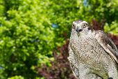picture of goshawk  - A close up of a Northern Goshawk - JPG