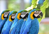 Beautiful Of Blue And Gold Macaw Birds Sitting Together