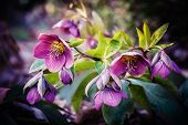 stock photo of lenten  - purple hellebore flower - JPG