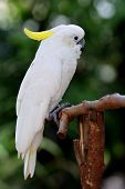 Beautiful White Cockatoo Bird, Sulphur-crested Cockatoo (cacatua Galerita) Perching On The Branch