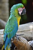 Buffon's Macaw Bird Perching On The Log