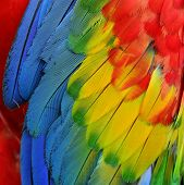 Close Up Of Scarlet Macaw Bird Feathers With Details