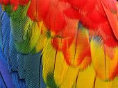 Close Up Pf Very Beautiful Of Scarlet Macaw Bird Feathers With Details