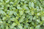Fresh origanum herb as background