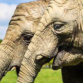 African elephants ( Loxodonta africana )