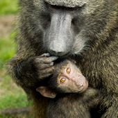 Adult baboon ( Papio hamadryas ) with baby.
