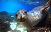 stock photo of lion  - Sea lion swimming underwater in tidal lagoon in the Galapagos Islands - JPG