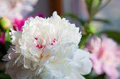 beautiful peonies flower