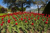 Exceptional View Over A Large Red Tulip Bed