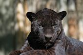 Portrait Of The Black Leopard