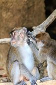 Female Macaque Tends To The Wounds Of An Injured Male