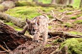 Puma Kitten