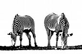stock photo of nibbling  - Illustration with two zebras - JPG