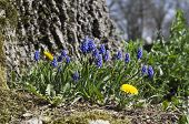 Dandelion and grape hyacinth