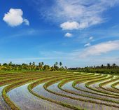 Rice terrace in Indonesia