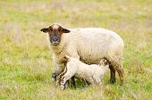 picture of spring lambs  - Oregon spring lambs in a ranch pasture - JPG