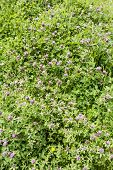 pic of red clover  - A field of flowering red clover  - JPG