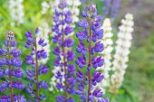 Colorful Lupine Flowers On The Meadow In Summer