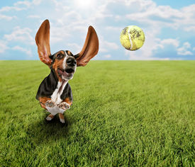 stock photo of furry animal  - a cute basset hound chasing a tennis ball in a park or yard on the grass - JPG