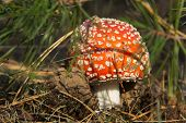 stock photo of agar  - Closeup of red fly agaric mushroom growing in forest - JPG