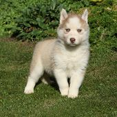 Beautiful Siberian Husky Standing In The Garden
