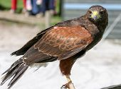 A Harris Hawk Perched At A Falconery Display In The Uk
