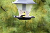 Goldfinch, American (M) on Feeder