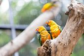 foto of sun perch  - a couple of Sun Conure Parrot on the tree - JPG
