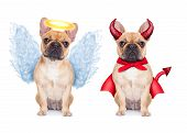 stock photo of hells angels  - Devil and Angel fawn french bulldog dogs sitting side by side deciding between right and wrong good or bad isolated on white background - JPG