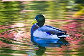Wood Duck On A Pond