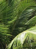 Palm Tree Leaves In Brazil. Salvador Da Bahia