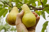 harvesting pear in hand