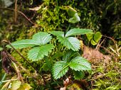 Wild Green Strawberry Plant In Forest Over Moss And Lichen