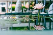 Beautiful Pink Lotus Flower In Pond With Reflection In Water
