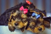 Sleeping Yorkshire Terrier Dog Puppies