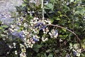 Branch Full Of American Berries