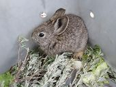 Pygmy Rabbit Relocation