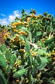 stock photo of prickly pears  - Prickly pear cactus plant  - JPG