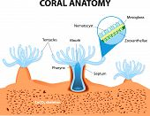 stock photo of animal anatomy  - Structure coral polyp - JPG