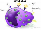 picture of mast  - white blood cell - JPG