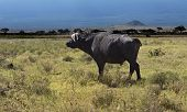Buffalo In The African