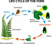 picture of spores  - The life cycle of ferns is different from other land plants as both the gametophyte and the sporophyte phases are free living - JPG