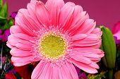 Macro Pink Flower