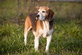 Beagle on meadow, pedigree dog standing on lawn in grass