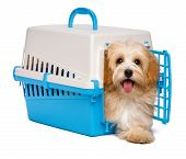 Cute Happy Havanese Puppy Dog Is Step Out From A Pet Crate